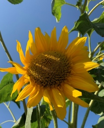 Obrázek slunecnice.jpg